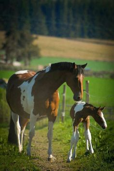 Tobiano Pinto mare and foal.