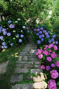 Garden path bordered by hydrangea shrubs in lilac and pink colors