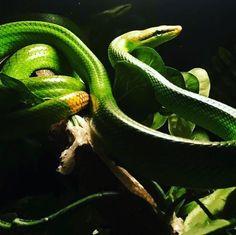 """7 tykkäystä, 1 kommenttia - Funkkistehdas (@funkkistehdas) Instagramissa: """"#exoticanimals #herp #terrarium #snake #pet #funkkistehdas #arborealsnake #greenracer #ratsnake"""""""