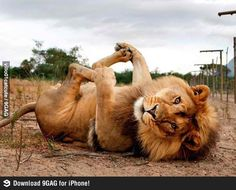 Lion in cute pose.
