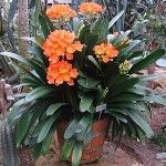 Best 12 The little Clivia Miniata Bush Lily is stunning indoors or outdoors. They are simple to grow and associated with Sagittarius. Perennial flowering and they bloom in Spring. They thrive in temperate climates. Their sizes are small through large. Tropical Garden, Tropical Plants, Balcony Flowers, Shade Plants, Pot Plants, Orange Flowers, Shade Garden, Horticulture, Small Gardens
