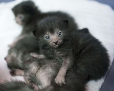 Lykoi may have earned the nickname 'werewolf cats,' but the name fails to diminish the cute factor. - Tap the link now to see all of our cool cat collections! Rare Cats, Cats And Kittens, Ragdoll Kittens, Tabby Cats, Funny Kittens, Bengal Cats, White Kittens, Adorable Kittens, Black Cats