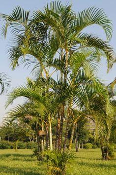 A palmeira areca (Dypsis lutescens) é muito comum e largamente empregada em paisagismo, tanto na forma arbustiva (natural), como arbórea (necessita manejo). Tolerante ao frio leve e à mudança de local, essa planta pode ser cultivada sob pleno sol, meia-sombra ou luz difusa. O solo deve ser fértil, drenável e enriquecido com matéria orgânica.  Fotografia: Getty Images.