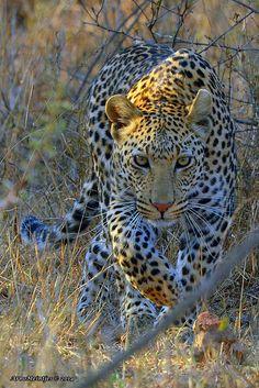 Leopard by A Meintjes