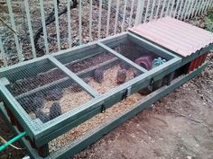 Quail in their coop outside. 4 wks old