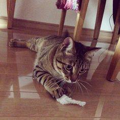「ねー。ねずたん。 Good boy, Mr. Mouse! #もんちゃん #montblanc #monchan#cat #catstagram #tabby #tabbycat #browntabby #kitty #こねこ #子猫 #仔猫 #ねこ #猫 #ネコ #にゃんこ #キジトラ #とらねこ…」