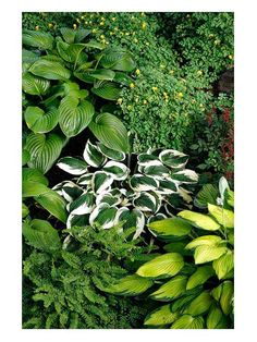 'Patriot' hosta, with its wide white leaf edges, is standout in any planting. But it really shines paired with nonvariegated selections. Jane also mixed in delicate maidenhair fern and Corydalis for texture.