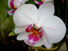 ORCHID (Orchidaceae) This is one of the families the most varied, with more than 30,000 species which are split into more than 800 genus!!! They have many indisputable ornamental qualities and amazing shapes…