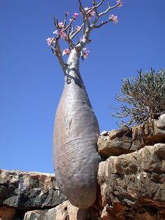 Rosa do Deserto (Adenium obesum)