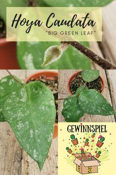 """GewinnSpiele #335haage - no 7 - noch so ein seltenes Schätzchen aus unserer Gärtnerei: Hoya caudata """"big green leaf"""". Diese Hoya war ganz fix ausverkauft - aber Emily Cox hat gerade noch rechtzeitig eine Pflanze für unsere GewinnSpiele abzweigen können! Jetzt teilnehmen auf Facebook oder Instagram. #HaageLife #ilovecactus #Hoya"""