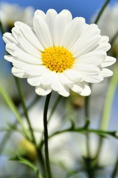 A daisy - reminds me of my baba. Happy Flowers, All Flowers, Flowers Nature, My Flower, White Flowers, Flower Power, Beautiful Flowers, Sunflowers And Daisies, Daisy Love
