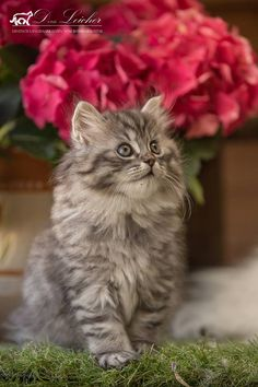 The sweet German longhaired cat Eragon vom Blümelsbachtal - Cats and Dogs House Kittens And Puppies, Cute Cats And Dogs, I Love Cats, Cool Cats, Cats And Kittens, Grey Kitten, White Kittens, Siberian Cat, Pretty Cats