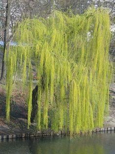 Wierzba płacząca -  (Salix x sepulcralis 'Chrysocoma'),