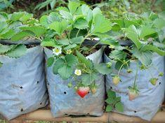 Co dělat s jahodníky po odplození - Magazinzahrada. Strawberry, Garden, Water Treatment, Irrigation, Garten, Lawn And Garden, Strawberry Fruit, Gardens, Gardening