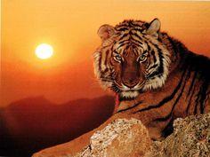luna sauvage   Los tigres y las cabras . Cuento hindú