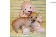 Meet CARLETA a cute Mexican Hairless Dog puppy for sale for $1,500. TINY HAIRLESSXOLOITZCUINTLI/CHIHUAHUA