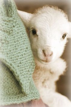 few things are as sweet as a baby lamb. Well, most baby animals are, but humans don't come close, sorry. Cute Baby Animals, Farm Animals, Animals And Pets, Funny Animals, Cute Creatures, Beautiful Creatures, Animals Beautiful, Gato Animal, Baby Goats