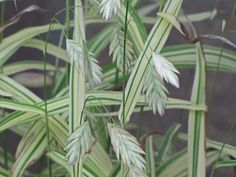 Northern Sea Oats 'River Mist'