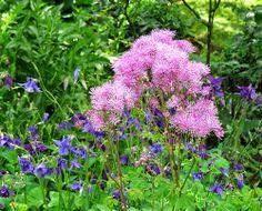#-neuer Gartentraum- Akeleiblättrige Wiesenraute