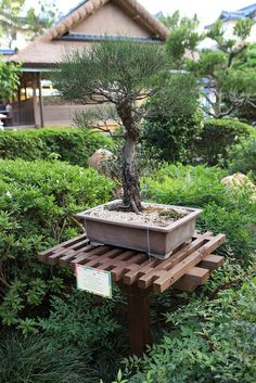 Bonsai tree display in Japan Pavilion during the Epcot International Flower and Garden Festival. Japanese Maple Garden, Japanese Plants, Outdoor Plants, Outdoor Decor, Bonsai Garden, Plantas Bonsai, Bonsai Styles, Carnivorous Plants, Live Plants