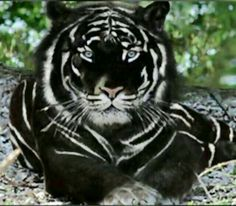 Black Tiger is the most Majestic cat in the worldYou can find Wild cats and more on our website.Black Tiger is the most Majestic cat in the world Unusual Animals, Majestic Animals, Rare Animals, Cute Baby Animals, Animals And Pets, Funny Animals, Black Animals, Animals In The Wild, Wild Life Animals
