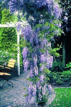 Des plantes grimpantes pour le jardin : Glycine