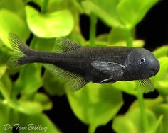 """$14.00 , Baby Whale (Petrocephalus bovei bovei/ Brienomyrus brachyistius) Moderate care, Max 8"""" feed, carnivore feed Frozen Bloodworms, Frozen Brine Shrimp, Live Blackworms.Have large brains,highly intelligent, interesting, good personality, active, jumper, Needs cave or hiding spot/, TANKMATES= Elephant Noses, African Black Knifefish, Synodontis Catfish. Baby Clown Loaches, Gouramis, Angels.keep 1 OR 6+ to stop bullying.(never 2,3,4)"""