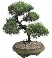 Image result for juniper tree