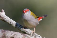 Red-browed Finch by Craig-Miller on DeviantArt