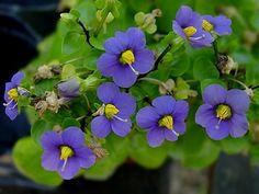 Full size picture of Persian Violet, German Violet (Exacum affine)