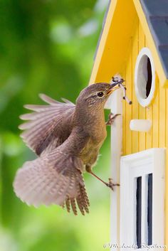 "Nest building by Michaela Sagatova (My mom always told me..""Pound for pound..there is no bird that will out sing a little wren"" Mom called them..""Jenny Wren"" They work together building the nest and then feeding their babies..I love them~"