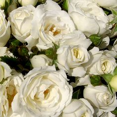 Roses Garden-white