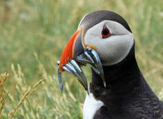 Puffin with sand eels on Staple island (Farne islands) | Flickr - Photo Sharing!