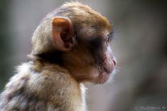 Berberaap Baby en profil. #apenheul