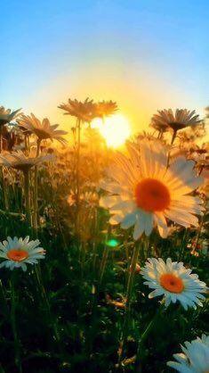 Sunrise Wallpaper, Daisy Wallpaper, Spring Wallpaper, Sunflower Wallpaper, Cute Wallpaper Backgrounds, Spring Backgrounds, Field Wallpaper, Beautiful Flowers Wallpapers, Beautiful Nature Wallpaper