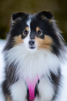 Zelda - OMG what a beautiful Tri Sheltie