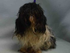 07/19/2016 SUPER URGENT Brooklyn Center NYC HELP RESCUE / ADOPT NEGLECTED POKEY – A1080634 intact FEMALE, BLACK / WHITE, SHIH TZU MIX, 3-5 YEARS OLD, lost/abandoned pet, has now had a haircut and needs a temperament test before adoption can take place. Intake condition being treated for an eye infection, Intake Date 07/09/2016, From NY 11207, past DueOut Date 07/12/2016