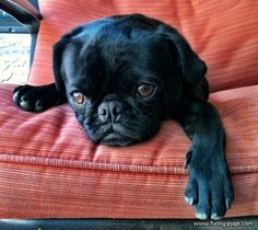 Take your pic then beat it lol !!!  pug pug pug