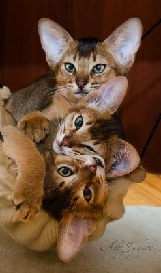 """The Abyssinian ~ is a breed of domestic shorthaired cat with distinctive """"ticked"""" tabby coat. (curious about breeds, i read that these guys are Dolichocephalic or long headed, like Greyhounds and wolves and Siamese cats). #catbreeds"""