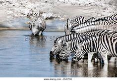 Zebra in Etosha National Park - Imagen de archivo