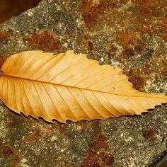 Outono dourado #outonodourado #goldenautumn #automnedoré #goldenfall