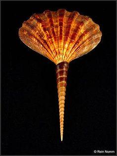 Shells |  Conchas - #Shells: