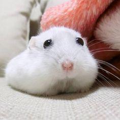 朝のうー吉さん 今頃ご飯食べまくってるんだろなぁ(笑) 昼でも常にモグモグしてるんです 食欲あるのは安心です  #ジャンガリアンハムスター#ジャンガリアン#ハムスター#パール#パールホワイト#可愛い#もふもふ #うー吉#家族#cute#family#Djungarianhamster#hamster#animal#pet#ペット #ふわもこ部#hamstergram#hammy#love#animal#dwarfhamster#happy_pets#hammy#kaumo by ushikichi