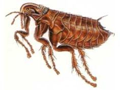Cat Fleas on Humans – How To Avoid Getting Bitten?