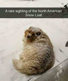 A North American Snow Loaf ☺