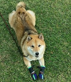 Check out my hiking booties. Love Shiba Inu's? Learn more about this breed at www.myfirstshiba.com