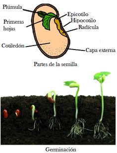 Partes de la semilla ecoagricultor.com