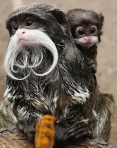 "The Emperor Tamarins, at Belfast Zoo, are up and ready for ""Movember""! The newest moustached member of the zoo, 'Lucky', was born on September 28th to mother, 'Bella' and father, 'Alfie'. Learn more: http://www.zooborns.com/zooborns/2014/11/movember-madness-at-belfast-zoo.html"