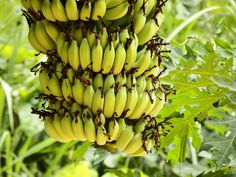 Banana is one of the most popular and available fruits in the world. Bananas believe to be the world's first cultivated fruit...