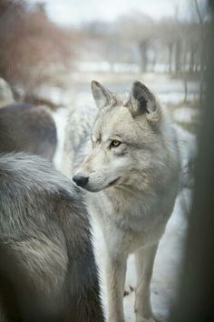 Dog fact of the week: The wolf brain is about 30% larger than the dog brain.